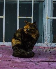 IMG_0856 (mickey.joon@ymail.com) Tags: pet pets cat cats meow roar tiger animal animals love cute street