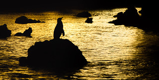 Silhouetted Galapagos Penguin at Sunset