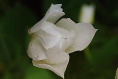 20170501_Jardins_secrets_Vaulx_Fl (6 sur 35) (calace74) Tags: 2017 rhonealpes fleurs france hautesavoie jardinssecrets macro vaulx