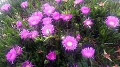 aiuole a Trapani........ (angelaeh52) Tags: fiore aiuola fucsia piantagrassa