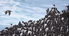 Murre Colony (kpgoldman.nature) Tags: oregon coast rocks wild wildlife birds murres flight flying d500 600mm yaquina newport pacific ocean 2017 june kengoldman plenty