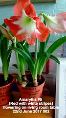 Amaryllis #5 (Red with white stripes) flowering on living room table 22nd June 2017 002 (D@viD_2.011) Tags: amaryllis 5 red with white stripes flowering living room table 22nd june 2017