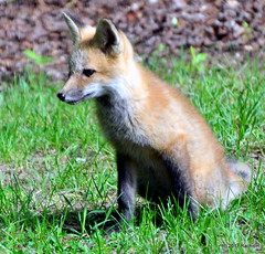 DSC_0756 (rachidH) Tags: fox renard vulpes foxcub renardeau redfox renardroux vulpesvulpes backyard frontyard wildlife sparta newjersey nj rachidh nature