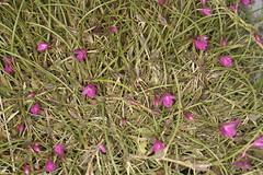 Isabela Pulchela Sandra Sayuri Ori (Plinio Fabbro) Tags: flor flores orquídeas exposição rio claro flower orchids