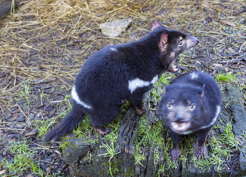 Tasmanian Devil spin