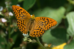 Silver-washed Fritillary - Male (Barbara Evans 7) Tags: silverwashed fritillary male oakley hants uk barbara evans7