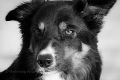 Yatzy (Flemming Andersen) Tags: bordercolli draget nature water sheepdog pet outdoor hund hebojebi seaside animal hurupthy northdenmarkregion denmark dk