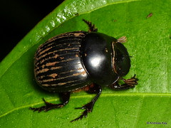 Dung beetle, Dichotomius sp., Scarabaeidae (Ecuador Megadiverso) Tags: andreaskay beetle coleoptera dungbeetle ecuador holavida scarab scarabaeidae dichotomiussp