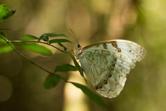 Mariposa Bandera Argentina (Lautaro Jerez) Tags: argentina fauna naturaleza canon canonista entrerios elpalmardecolon parquenacional