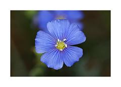 Linum leonii - Lothringer Lein (Sam ♑) Tags: linumleonii lothringerlein sam eifel macro makro flower blume bühte
