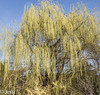 weeping willow (Felicis_Flower) Tags: rein pure clear white trauer sad sadness traurigkeit trauerweide weepingwillow weide willow tree baum