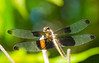 Translucent_Wings (briarphotos) Tags: briarphotos nikon nikon18200mm dragonfly
