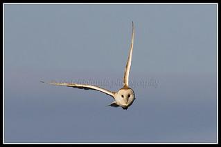 IMG_0133 Barn Owl