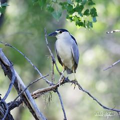 "Black-crowned Night-heron Poses (dcstep) Tags: aurora colorado unitedstates us n7a4607dxo handheld canon5dmkiv ef500mmf4lisii allrightsreserved copyright2017davidcstephens dxoopticspro114 ""cherry creek state park"" pond heron blackcrownednightheron"