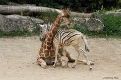 Girafon et zébreau de Chapman (Passion Animaux & Photos) Tags: girafe bebe girafon zebre zebreau chapman giraffe cub chapmans zebra foal touroparc zoo france