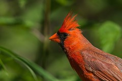 Cardinal / Northern Cardinal ♂ (ALLAN .JR) Tags: cardinal bird oiseau nature wildlife spring printemps ilestbernard nikon d7100
