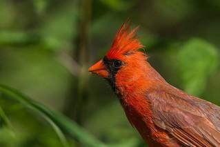 Cardinal / Northern Cardinal ♂
