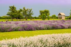170707 La Maison de Lavande - St-Eustache   -0350-2 (Serge Léonard) Tags: lamaisondelavande villedesteustache lamaisonlavandrecultureetparfumerie parfumerie plantfarm