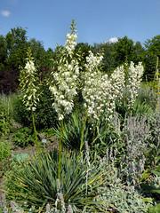 Fädige Palmlilie (Gertrud K.) Tags: flowers white yucca asparagaceae