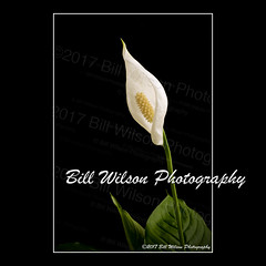 peace lily (wildlifephotonj) Tags: lily lilies fineartprints fineartphotography fineart flower flowers white whitelily