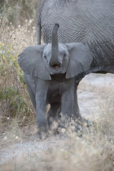 Dumbo (matttrevillionphotography.com) Tags: chobe linyanti botswana elephant