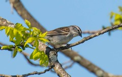 7K8A0079 (rpealit) Tags: scenery wildlife nature kittatinny valley state park chipping sparrow bird