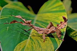 Extatosoma tiaratum - the Giant Prickly Stick Insect (female nymph)