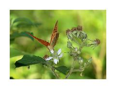 Kaisermantel (Argynnis paphia) (Sam ♑) Tags: kaisermantelargynnispaphia sam eifel minden deutschland germany sommer schmetterling macro butterfly silverwashedfritillary tabacdespagne nature flora fauna