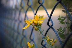 Be a weed! (Maria Godfrida) Tags: fence fences fencedfriday plant nature flower weed flora yellow stjohnswort herbs closeup healing medicinal 7dwf hff psp
