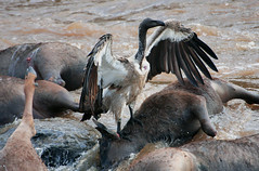 Carnage at the Mara River. (welloutafocus) Tags: vulture migration masaimara river crossing carnage