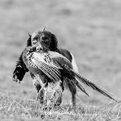 fieldsports photography-6561 (Photography By Gerry Slade) Tags: photography dogphotographer equinephotography fieldsports gerryslade horsephotographer photographybygerryslade