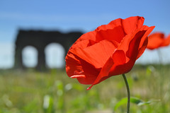 historical poppy (C-Smooth) Tags: parcodegliacquedotti lagrandebellezza nature poppies red view historical roma italy spring 2017 poppy flowers papaveri stefanocabello