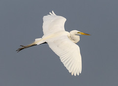 Great Egret (tresed47) Tags: 2017 201706jun 20170614newjerseybirds birds canon7d content egret folder greategret june newjersey oceancity peterscamera petersphotos places season spring takenby us