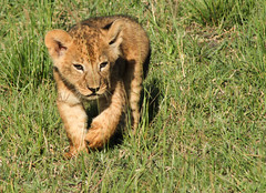Safari (imanolg) Tags: baby masaimara safari kenia africa lion