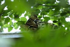 La gatta sul tetto che scotta  😄 (carlo612001) Tags: parcofaunisticolatorbiera animals animali cat gatto ocelot
