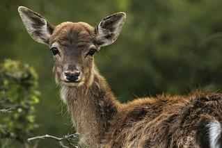 Young fallow deer/ jong damhert
