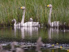 (Anseriformes: Anatidae) Cygnus cygnus, Sångsvan / Whooper swan (holgeric77) Tags: värmlandslän sweden se anseriformes anatidae cygnuscygnus