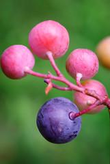 Blueberries Closeup (ChristianRock) Tags: pentax k10d k10 ccd smcm m 50mm 50 f4 macro garden nature summer