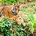 Sumatran Tiger's Cub : スマトラトラのファントム