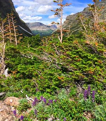 green everywhere (ekelly80) Tags: montana glaciernationalpark nationalparkservice nps june2017 roadtrip keisgoesusa optoutside findyourpark mountains rockymountains hike trail crackerlaketrail manyglacier view scenery green trees grass wildflowers flowers purple sky clouds