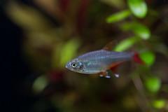 20170521-IMG_2710 (pixelGeko) Tags: aquarium nizam