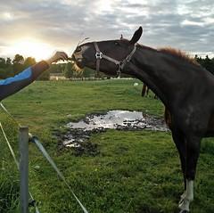 Arjan käsi ja Kepan pää @laaksolan_ratsutila