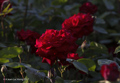 Bloody red (Sh1nji) Tags: london regentpark red rose canon 1200d flower