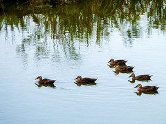 Family / Luo-Dong Forest Park (@Jimweaver) Tags: ducks luodong forest park water mirror rest lake couple family line wood float 羅東 宜蘭 鴨 雁 倒影 sunset 浮 木 林場