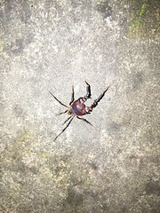 Araña Cangrejo #Araña #Cangrejo  #Lora #Maule #Chile (sebastiánmuñoz) Tags: araña chile maule cangrejo lora