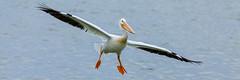 Pelican Panorama (Striking Photography by Bo Insogna) Tags: panorama pelican birds flying wings pelicanus bird eye beak wildlife landing jamesinsogna americanwhitepelican pano colorado boinsognacom
