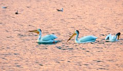 Copper Lake (imageClear) Tags: wildlife pelicans bird swim lake copper color contrast dramatic beauty nature aperture nikon d500 80400mm imageclear flickr photostream