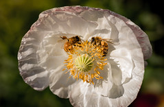 working in tandem (auntneecey) Tags: poppy bees whiteflower odc pretty 365the2017edition 3652017 day185365 4jul17