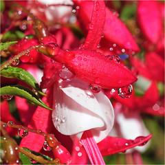 fuchsia after the rain.......... (atsjebosma) Tags: drops raindrops druppels regendruppels fuchsia colourful macro kleurrijk rain atsjebosma garden tuin groningen summer june juni 2017 zomer thenetherlands nederland kletsnat