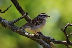 Chipping sparrow (marensr) Tags: chipping sparrow nature bird morton arboretum passerina cyanea